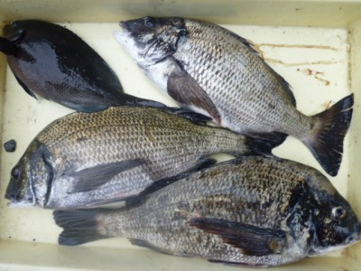 <p>木津川市の中様、沖の一文字北で、チヌ 44cmまで3匹・グレ 28cm 1匹</p> <p>フカセ釣り 餌オキアミボイル</p>