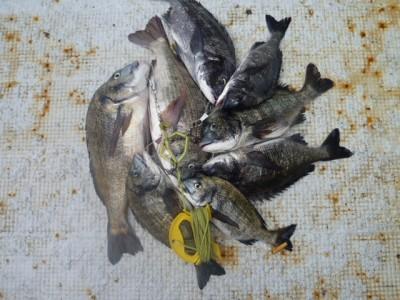 <p>岸和田市の植田様、沖の一文字北で、チヌ 49cmまで11匹</p> <p>落とし込み 餌イガイ</p>