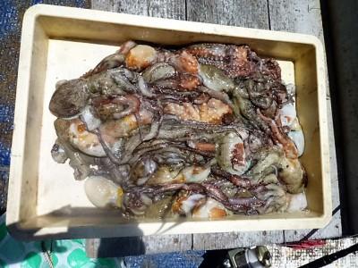 <p>岸和田市の井上様、旧一文字3番で</p> <p>350gまでのタコ27匹</p> <p>釣り方・タコエギ</p>