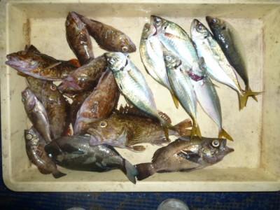 <p>貝塚市の津田様、沖の一文字白灯で、ガシラ22cmまで8匹・メバル21㎝まで3匹・アジ23㎝まで7匹</p> <p>アジ(サビキ・アミエビ)ガシラ・メバル(ウキ釣り・シラサエビ)</p>