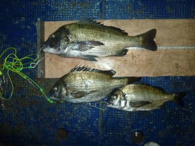 <p>大阪市の内田様、沖の一文字で、チヌ 44cmまで3匹</p> <p>へチ釣り・イガイ</p>