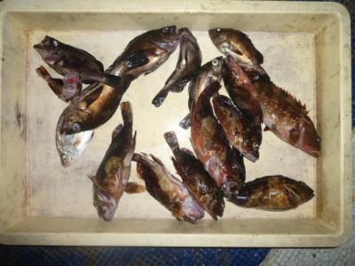 <p>大阪市の丸岡様、沖の一文字白灯で、ガシラ 10匹・メバル 6匹・アコウ 2匹</p> <p>ズボ釣り 餌シラサエビ・青イソメ</p>