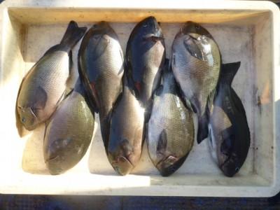 <p>熊取町の池上様、沖の一文字北で、グレ 28cmまで8匹</p> <p>ヌカギリ 餌石ゴカイ</p>