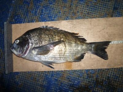 <p>熊取町の田中様、沖の一文字北で、チヌ 45cmまで2匹</p> <p>落とし込み 餌イガイ</p>