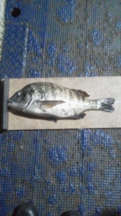 <p>熊取町の田中様、旧の一文字で、チヌ 45.5㎝ 1匹</p> <p>落とし込み 餌イガイ</p>