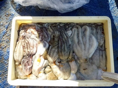 <p>堺市の以ケ本様、沖一文字北で</p> <p>1.2kgまでのタコ50匹程</p> <p>釣り方・タコジグ</p>