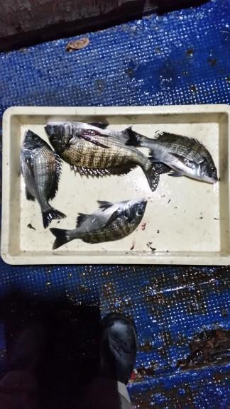 <p>堺市の岡田様、旧の一文字白灯で、チヌ 35㎝まで4匹</p> <p>紀州釣り 餌ねり餌</p>