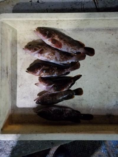 <p>貝塚市の津田様、旧の一文字赤灯で、アコウ 23㎝まで6匹</p> <p>ウキ釣り 餌シラサエビ</p>