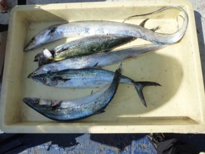 <p>岸和田市の西村様、沖一文字北で</p> <p>タチウオ2匹・サゴシ3匹</p> <p>釣り方・ワインド、バイブレーション</p>