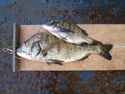 <p>泉佐野市の岡田様、旧の一文字赤灯で、チヌ 46cmまで2匹</p> <p>フカセ釣り 餌オキアミ・コーン</p>