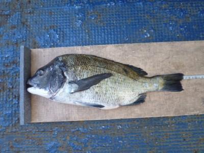 <p>堺市の荷宮様、旧の一文字北で、チヌ 46cm 1匹</p> <p>紀州釣り 餌コーン</p>