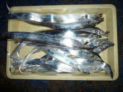 <p>岸和田市の白田様(2人)沖の一文字白灯で、タチウオ 指4本まで12匹</p> <p>ワインド・ウキ釣り 餌キビナゴ</p>