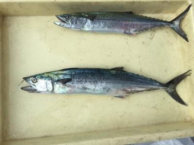<p>岸和田市の清水様、沖一文字北で</p> <p>サゴシ(50㎝・41㎝)2匹</p> <p>釣り方・バイブレーション</p>