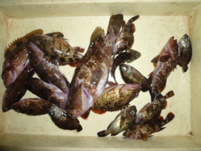 <p>貝塚市の津田様、沖の一文字北で、アコウ31㎝まで4匹・ガシラ20cmまで10匹</p> <p>ウキ釣り 餌シラサエビ</p>