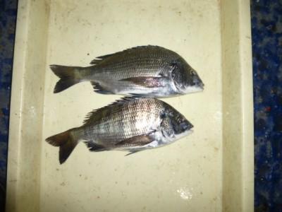 <p>大阪市の吉永様、沖の一文字北で、チヌ 30cmまで2匹</p> <p>紀州釣り 餌オキアミ・コーン・黄色のねりえ</p>