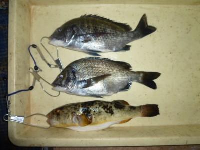 <p>堺市の善ちゃん、旧の一文字3番で、チヌ 30cmまで2匹・フグ 31㎝ 1匹</p> <p>フカセ釣り 餌オキアミ</p>