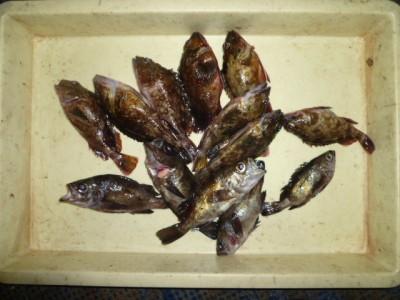 <p>貝塚市の津田様、沖の一文字白灯で、アコウ23㎝まで2匹・ガシラ 21㎝まで8匹・メバル 20cmまで5匹</p> <p>ウキ釣り 餌シラサエビ</p>