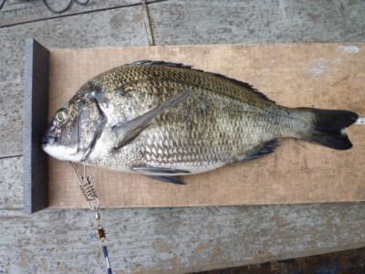 <p>堺市の前田様、沖の一文字北で、チヌ 43.5㎝まで3匹</p> <p>フカセ釣り 餌コーン</p>