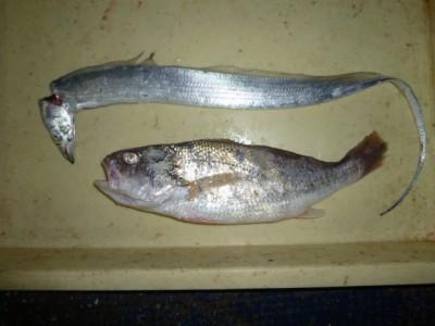 <p>茨木市の青沼様、沖の一文字北で、グチ 35cm 1匹・タチウオ 指2本 1匹</p> <p>グチ・タチウオ(ジグパラ)</p>
