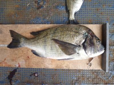 <p>岸和田市の大谷様、沖の一文字北で、チヌ 48㎝まで2匹</p> <p>フカセ釣り 餌オキアミ</p>