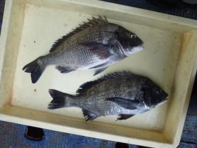 <p>大阪市の早田様、沖の一文字北で、チヌ 40cmまで2匹</p> <p>紀州釣り 餌サナギ</p>