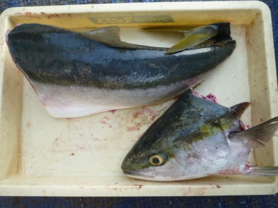 <p>大阪市の加藤様、沖の一文字北で、ブリ 86㎝ 1匹</p> <p>のませ釣り 餌アジ</p>