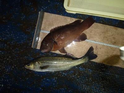 <p>奈良の稲垣様、沖の一文字北で、カンダイ 37cm 1匹・ハネ 44cm 1匹</p> <p>ウキ釣り 餌シラサエビ</p>