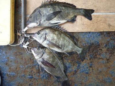 <p>岸和田市の山田様、旧の一文字4番で、チヌ 44cmまで3匹</p> <p>フカセ釣り 餌コーン</p>