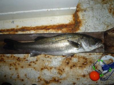 <p>京都市のノブ様、沖の一文字北で、スズキ 65㎝ 1匹</p> <p>のませ釣り 餌アジ</p>