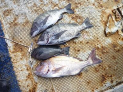 <p>門真市の濱本様、沖の一文字北で、マダイ 50㎝ 1匹・チヌ 46cmまで2匹・グレ 26cm 1匹</p> <p>フカセ釣り 餌オキアミ・コーン</p>