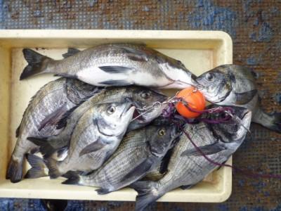 <p>熊取町の前田様、旧の一文字3番で、チヌ 46cmまで10匹</p> <p>フカセ釣り 餌オキアミ</p>