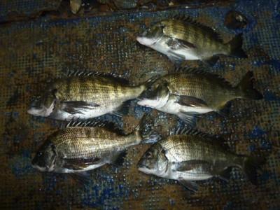 <p>泉佐野市の岡田様、中波止3番で、チヌ 40cmまで5匹</p> <p>フカセ釣り 餌オキアミ・コーン</p>