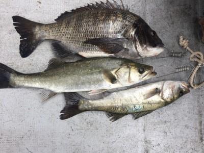 <p>岸和田市の三谷様、沖一文字北で</p> <p>44㎝までのハネ2匹・43㎝のチヌ1匹</p> <p>釣り方・エビ撒き釣り</p>