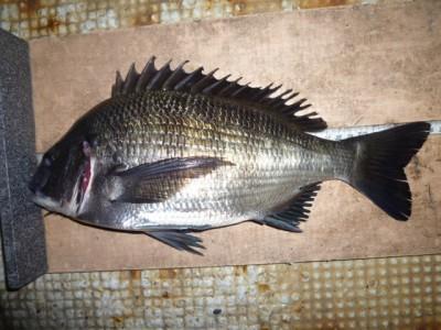 <p>堺市の善ちゃん、旧の一文字2番で、チヌ 36㎝ 1匹</p> <p>フカセ釣り 餌オキアミ</p>