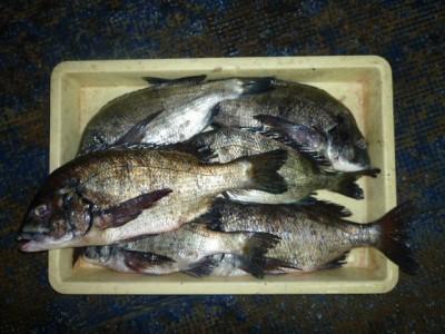 <p>阪南市の隆弥くん、旧の一文字2番で、チヌ 45cmまで6匹</p> <p>フカセ釣り 餌オキアミ</p>