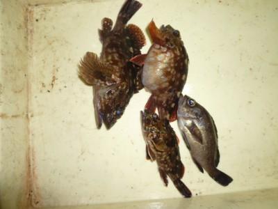 <p>堺市の永野翼くん、旧の一文字赤灯で、ガシラ 25cmまで3匹・メバル 1匹</p> <p>サグリ釣り 餌シラサエビ</p>