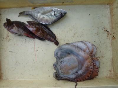 <p>大阪市の細川様、沖の一文字北で、タコ 1匹・キビレ 1匹・ガシラ 2匹</p> <p>投げ釣り 餌青イソメ</p>