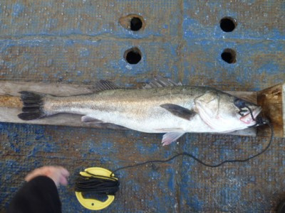<p>東大阪市の大角様、沖の一文字北で、スズキ 75㎝ 1匹</p> <p>のませ釣り 餌アジ</p>