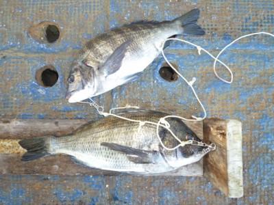 <p>岸和田市の安達様、中波止2番で、チヌ 45cmまで 2匹</p> <p>フカセ釣り 餌オキアミ</p>