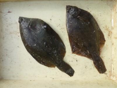 <p>豊中市の万野様、沖の一文字北で、カレイ 33.5㎝まで2匹</p> <p>投げ釣り 餌青イソメ</p>
