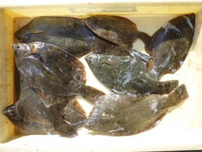 <p>高石市の村田様、沖の一文字北で、カレイ 33㎝まで9匹</p> <p>投げ釣り 餌青イソメ</p>
