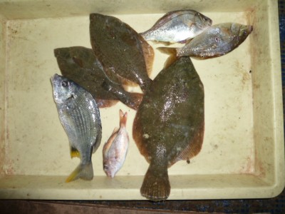 <p>東大阪市の請川様、沖の一文字北で、カレイ 31㎝まで3匹</p> <p>投げ釣り 餌青イソメ</p>
