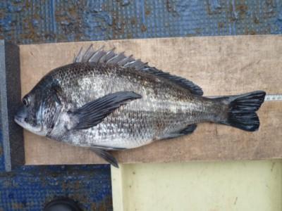 <p>河内長野市の近間様、中波止2番で、チヌ 44.5㎝ 1匹</p> <p>紀州釣り 餌オキアミ・コーン</p>