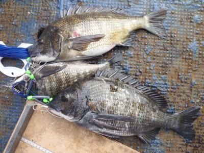 <p>岸和田市の河合様、中波止2番で、チヌ 46cmまで3匹</p> <p>フカセ釣り 餌オキアミ</p>