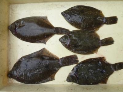 <p>堺市の谷様、沖の一文字北で、カレイ 30cmまで5匹</p> <p>投げ釣り 餌青イソメ</p>