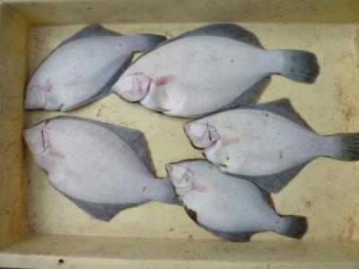 <p>和歌山市の新免様、沖の一文字北で、カレイ 33㎝まで5匹</p> <p>投げ釣り 餌青イソメ</p>