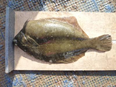 <p>八尾市の本願様、沖の一文字北で、カレイ 38㎝ 1匹</p> <p>投げ釣り 餌青イソメ</p>
