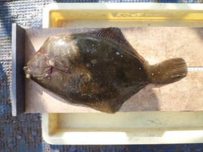<p>神戸市のN谷様、沖の一文字北で、カレイ 43㎝ 1匹</p> <p>投げ釣り 餌青イソメ</p>