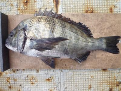 <p>泉大津市のカモヤ様、中波止3番で、チヌ 46cm 1匹</p> <p>フカセ釣り 餌オキアミ</p>