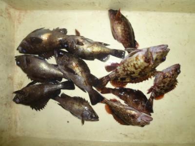 <p>貝塚市の津田様、沖の一文字白灯で、ガシラ 21㎝まで5匹・メバル 18㎝まで6匹</p> <p>ウキ釣り 餌シラサエビ</p>
